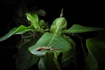 Lagarto de Providencia (Anolis pinchoti), una de las especies endémicas que han sido identificadas en la expedición Cangrejo Negro por Providencia. Foto: Felipe Villegas (Instituto Humboldt).