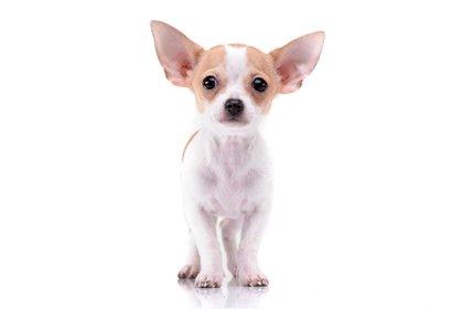 El chihuahua o chihuahueño es una raza de perro originaria de México