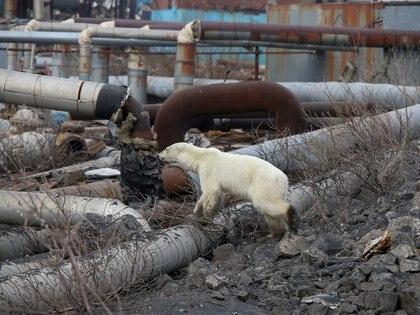 La osa será trasladada al zoológico de Krasnoyarsk (Foto: Reuters/Irina Yarinskaya/Zapolyarnaya Pravda)