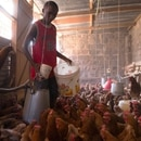 Victor Kyalo pours out feed for his chickens in a small household farm in the outskirts of Nairobi, Kenya, April 18, 2019. Picture taken April 18, 2019. REUTERS/Hereward Holland NO RESALES, NO ARCHIVES