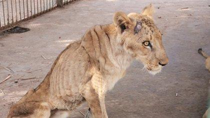 Leones de un zoológico de Sudán luchan por su vida luego de semanas sin alimento (Foto: Facebook Osman Salih)