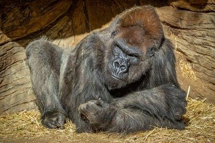 Uno de los gorilas más grandes sufrió neumonía, pero se está recuperando (Ken Bohn/San Diego Zoo Global/Handout vía REUTERS)