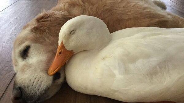 La improbable amistad de un perro y un pato pekinés que enternece al ...