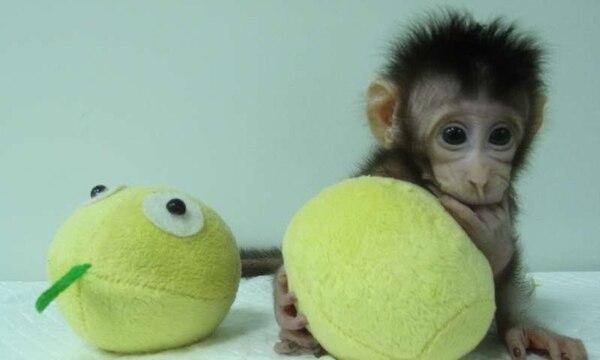 Las pequeñas clones de macacos surgieron con el método que en 1996 alumbróa la oveja Dolly.(Academia China de Ciencias)