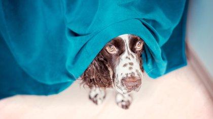 Los animales domésticos, perros y gatos, sufren mucho los estruendos de la pirotecnia por tener el sentido del oído mucho más sensible que el nuestro (Shutterstock)