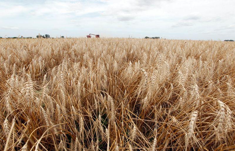 Las proyecciones preliminares de la Bolsa de Cereales de Buenos Aires, son de una siembra de trigo que se mantendría en los mismos niveles de la campaña anterior (Reuters)