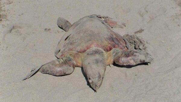 Las autoridades atribuyen como posible causa de la muerte de tortugas, una nociva bacteria de algas.