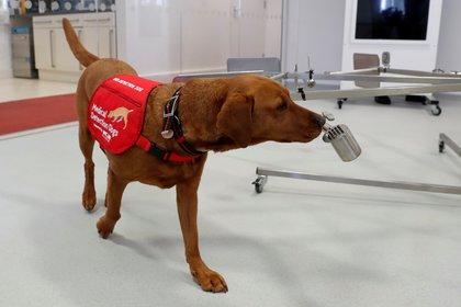 Los perros juegan un rol central en la lucha contra el COVID-19 (REUTERS/Matthew Childs)