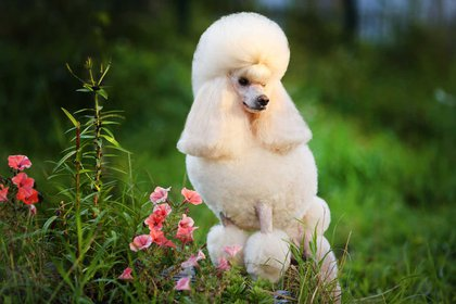 El caniche es una raza canina que hasta el siglo XV se consideró de uso exclusivo de aristócratas y nobles
