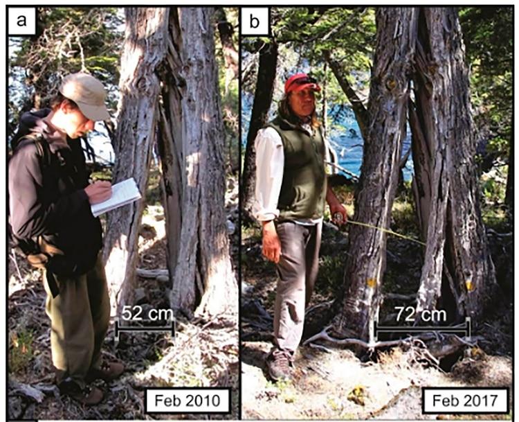 La diferencia de centímetros entre los dos extremos de un tronco partido, en un período de siete años