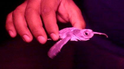 La anidación de tortugas supero las del año pasado (Foto: cancun.gob.mx)