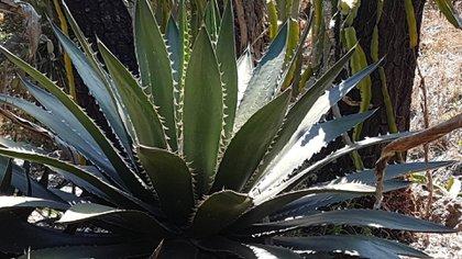 Agave megalodonta (Foto: UNAM)