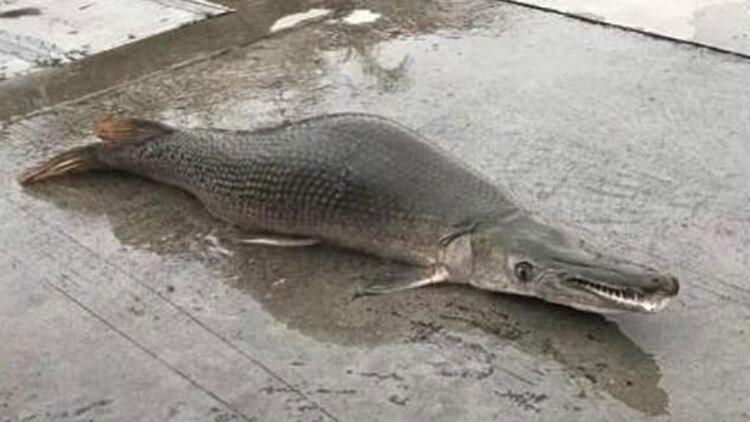 """Los especialistas aseguran que se trata de un pez """"feroz"""""""