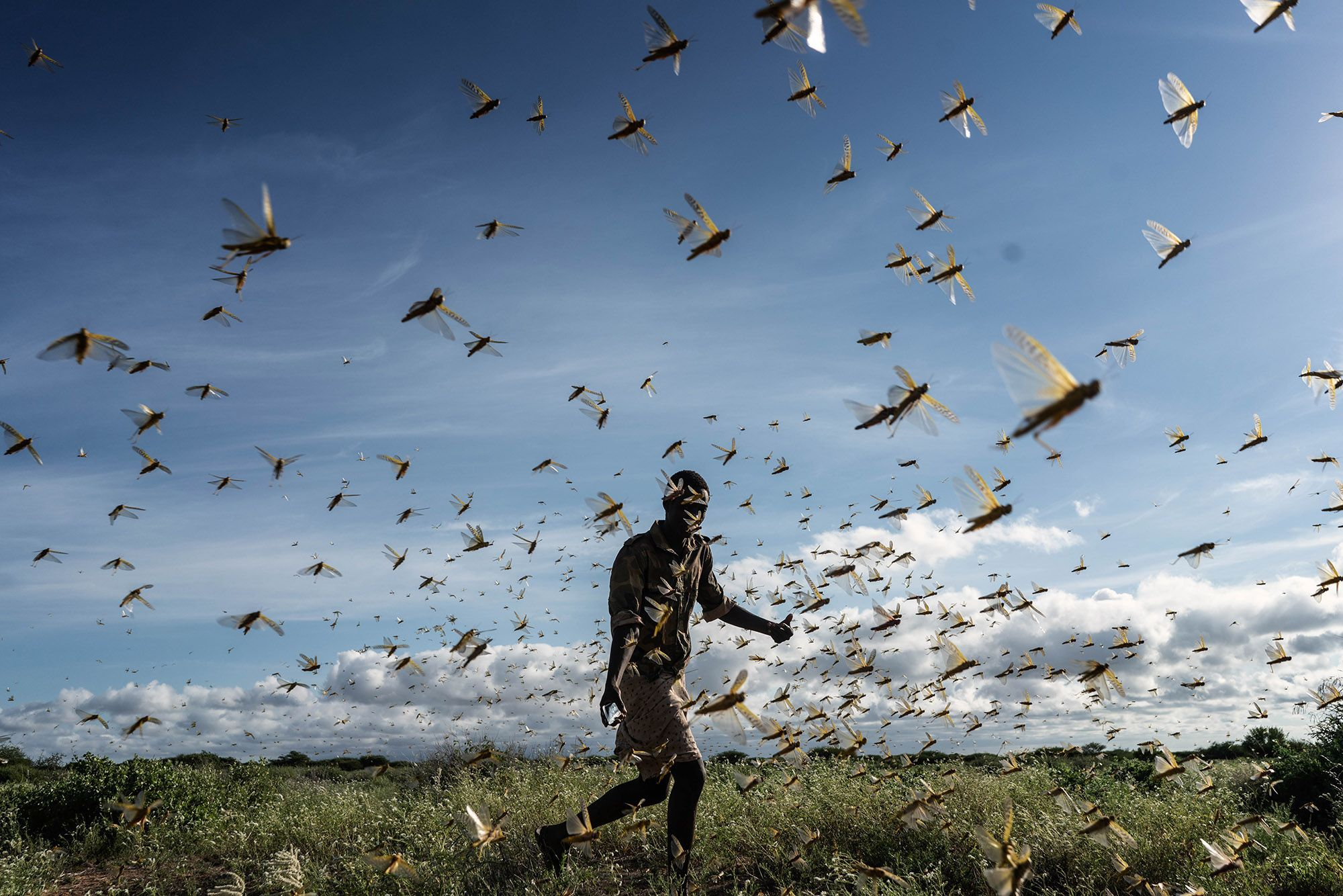 SAMBURU COUNTY, KENYA - MAY 21: A man is chasing away a swarm of desert locusts early in the morning, on May 21, 2020 in Samburu County, Kenya. Trillions of locusts are swarming across parts of Kenya, Somalia and Ethiopia, following an earlier infestation in February. Pastoralist communities like the Samburu in northern Kenya fear the locusts will devastate the rangeland on which their livestock are dependent. (Photo by Fredrik Lerneryd/Getty Images)
