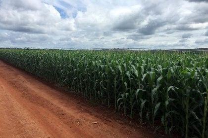En el inicio de la siembra, también se destacó una mejora en el maíz (REUTERS/Marcelo Rodrigues Teixeira)