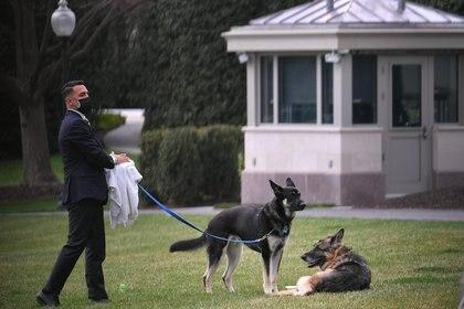 Los perros del presidente estadounidense Joe Biden, Champ y Major, son vistos con un ayudante en el jardín sur de la Casa Blanca en Washington, D.C., el 31 de marzo de 2021 (Mandel Ngan/Pool vía REUTERS)