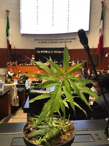 La senadora de Morena entró al recinto con una planta de Marihuana (Foto: Twitter / @jesusardgz)