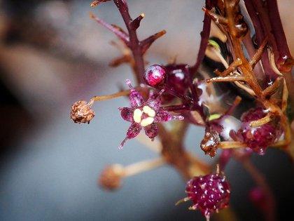 Fue descubierta en solo dos sitios de Japón, por lo que está en grave peligro de extinción. Florece entre septiembre y octubre