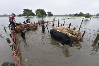 MEX8311. NACAJUCA (MÉXICO), 02/10/2020.- Habitantes intentan hoy proteger su ganado de las inundaciones causadas por las constantes lluvias del frente frio número 4, en el poblado de Nacajuca, Tabasco (México). Este viernes se pronostican lluvias puntuales extraordinarias acompañadas de descargas eléctricas en Campeche, el norte de Chiapas, Tabasco y Yucatán, además de viento con rachas de 70 a 80 kilómetros por hora. Asimismo se espera un oleaje de 2 a 4 metros de altura significativa y condiciones para la formación de trombas frente a las costas de Quintana Roo y Yucatán, informó el Servicio Metereológico Nacional (SMN) en su último boletín. EFE/Jaime Ávalos