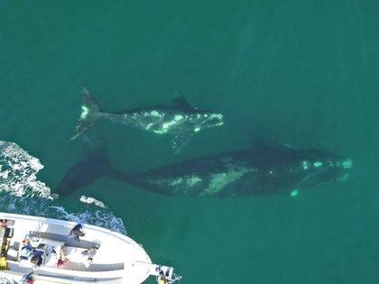 Pulgarcita es una hembra adulta que lleva un dispositivo desde el 25 de septiembre. Ha permanecido la mayor parte del tiempo con su cría en el área de Puerto Pirámides donde se realizan los avistajes de ballenas embarcado