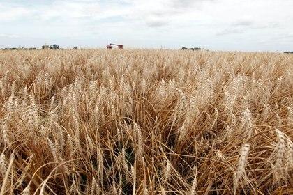 Máquinas cosechan trigo en campo de General Belgrano (REUTERS/Enrique Marcarián)