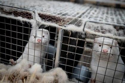File photo of minks on a farm near Naestved in Denmark.  Nov 6, 2020. Ritzau Scanpix / Mads Claus Rasmussen via REUTERS