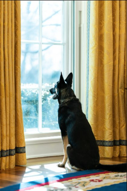 Dog Major in a bite incident against one of the security guards: (Adam Schultz Official White House)