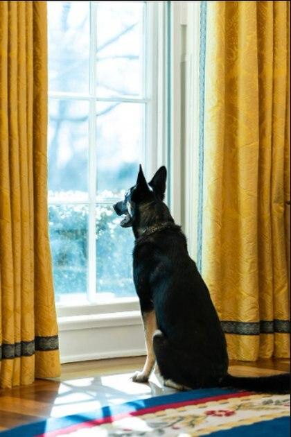 Major fue el perro involucrado en un incidente de mordedura contra uno de los guardias de seguridad Foto: (Adam Schultz Official White House)