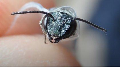 Las abejas africanizadas suelen ser más violentas que las abejas promedio (Foto: Museo de Florida/Chase Kimmel)