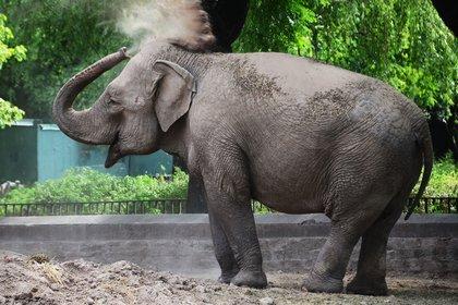 Mara cumple la cuarentena en el Ecoparque porteño. A fines de marzo, será trasladada al Santuario de Elefantes de Brasil. (Matias Arbotto)
