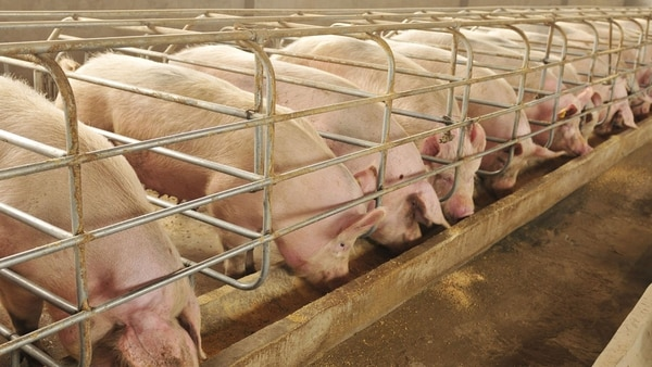 China es el principal productor de carne de cerdo con el 48,2% del volumen total.