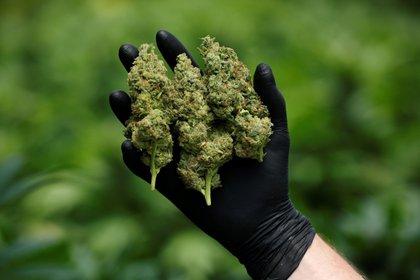 Según el experto, se calcula que hay unas 500,000 personas involucradas en el cannabis en México (Foto:  REUTERS/Amir Cohen)