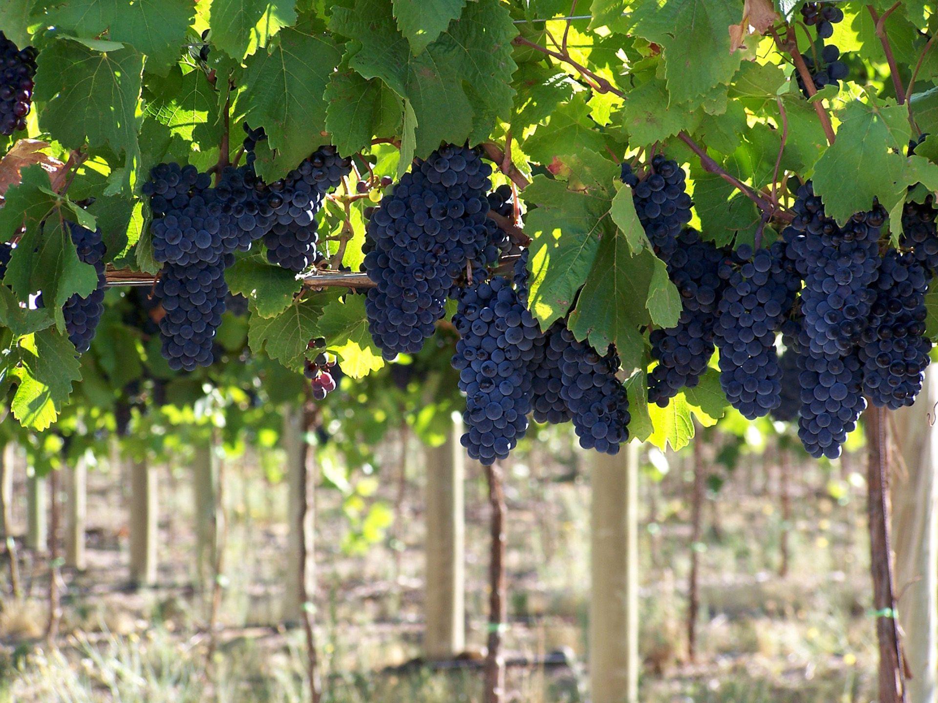La vitivinicultura es otra de las economías regionales afectadas por la crisis