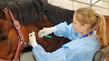 El suero equino hiperinmune es interesante porque el caballo produce muchos más anticuerpos que un ser humano. Este estudio si bien no tiene aún protocolo, se ha comprobado que inyectando la proteína RDB al caballo produce anticuerpos con muy buenos títulos. Falta saber si son neutralizantes del virus o no. Al tener ya realizados los protocolos de bioseguridad con el SUH, no se deberían repetir para la COVID-19, con lo que podríamos acelerar los resultados del estudio. (Shutterstock)