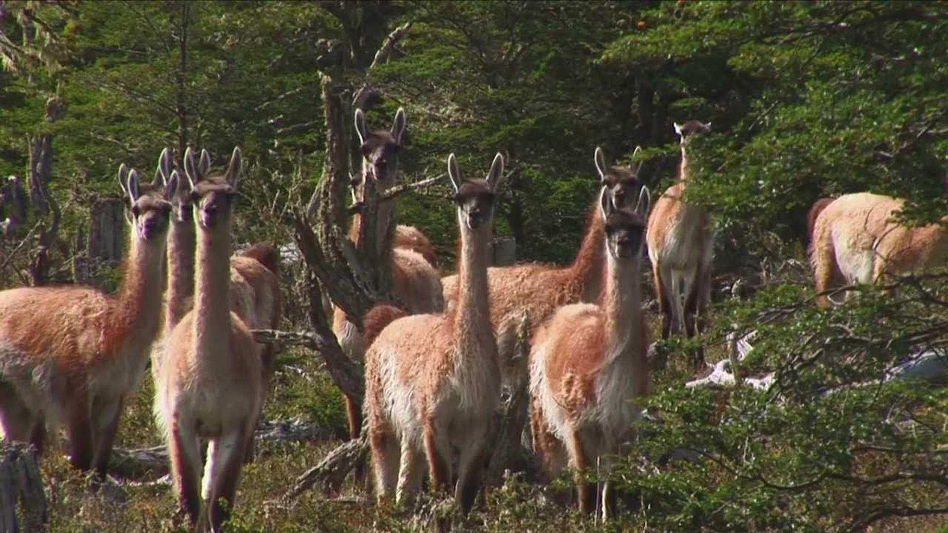 Se trata de la llama (Lama glama), un mamífero artiodáctilo de la familia Camelidae