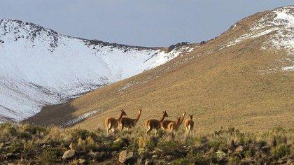 Vicuña en la Cordillera de los Andes de Perú, no muy lejos del sitio arqueológico de Wilamaya Patjxa. (Randall Haas vía The New York Times)