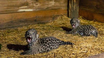El 30 de enero nacieron dos jaguares en el Parque Nacional El Impenetrable en Chaco.