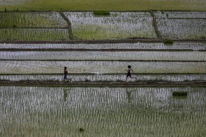 Un campo de arroz en Bhaktapur, Nepal (REUTERS/Navesh Chitrakar)