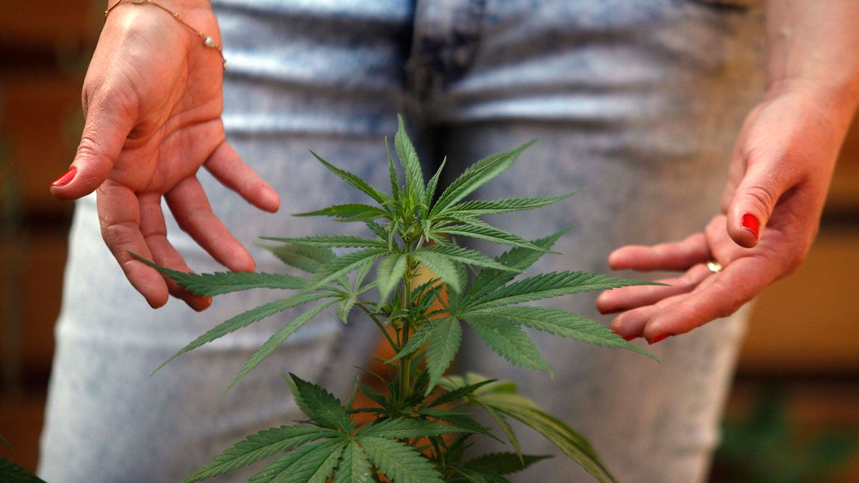 Se permitirá el cultivo en los hogares aunque no se especificó todavía cantidad de plantas