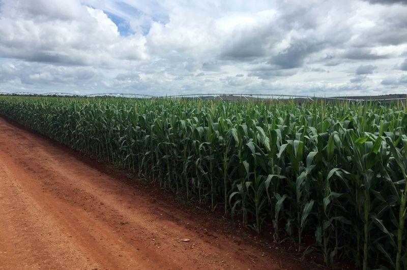 La semana pasada China registró compras de maíz a Estados Unidos, que se ubicaron en valores históricos (REUTERS/Marcelo Rodrigues Teixeira)