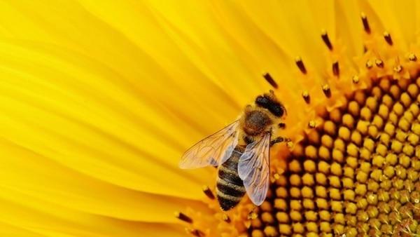 Nuestro país es uno de los principales productores y proveedores mundiales de miel. Sin embargo, todavía es incipiente el desarrollo de la polinización como herramienta para mejorar la calidad y aumentar los rendimientos de los cultivos