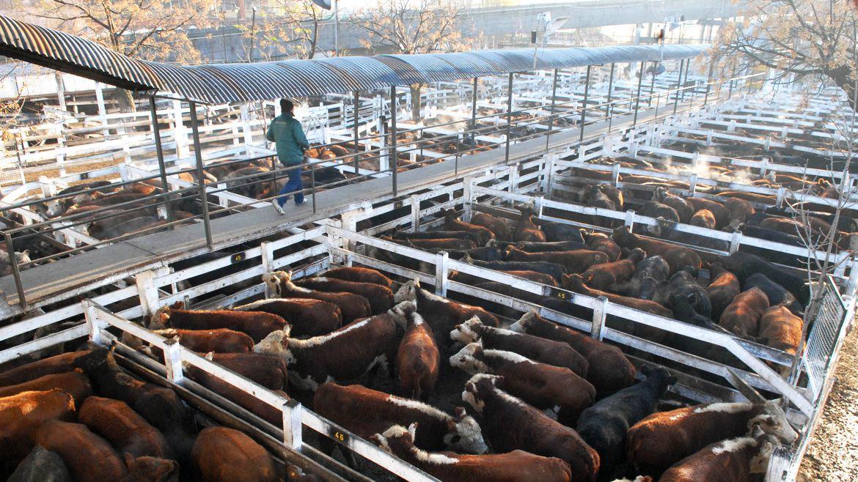 Las restricciones para exportar carne vacuna ya impacta en los precios de la hacienda en el Mercado de Liniers. (Télam)