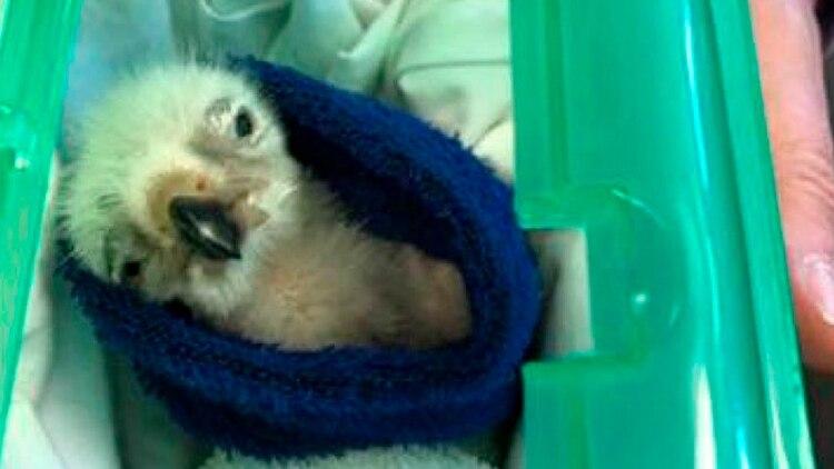 Uno de los polluelos que encontraron las autoridades británicas al detener a Lendrum (Servicio de la Fiscalía de la Corona)