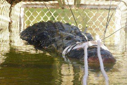 Esta foto del folleto tomada el 9 de julio de 2018 y publicada el 10 de julio por Parques y Vida Silvestre del Territorio del Norte muestra un gran cocodrilo de agua salada que pesa 600 kilogramos (1.328 libras) en una trampa después de ser capturado después de una cacería de ocho años, en el Territorio del Norte. ciudad de Katherine