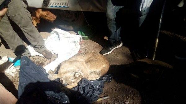 Cuerpo del puma tras ser incautado por la PFA