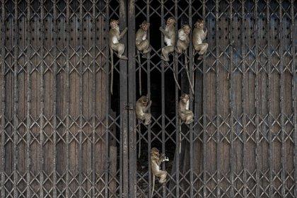 Los monos y los humanos han coexistido de manera problemática en países como Indonesia, India y Tailandia por muchos años.
