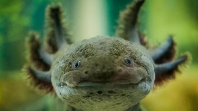 Por la captura ilegal y la contaminación en su hábitat, el anfibio se encuentra en peligro crítico de extinción (Foto: archivo)