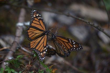 Esta temporada solo 2.10 hectáreas de los bosques fueron usadas por las mariposas. (FOTO: ARTEMIO GUERRA BAZ /CUARTOSCURO)