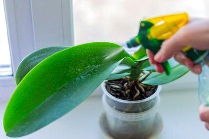 """""""Si las hojas están verdes y carnosas, significa que la planta está bien. Si se ponen amarillas, babosas o se caen probablemente esa orquídea tenga un problema"""" (Getty Images)"""