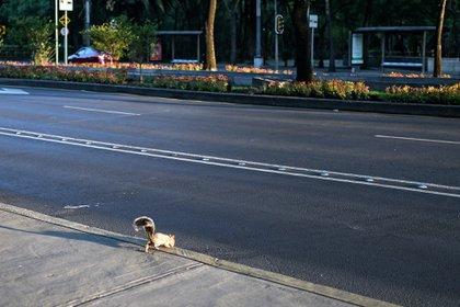 Una ardilla pasea en México, en medio de recomendaciones de permanecer en los hogares